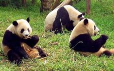 Pandas in Chengdu/Creative Commons